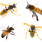 Hornets & Wasps