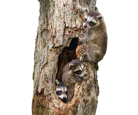 Raccoon Trapping Raccoon Removal